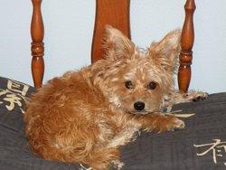 Yonna, chien Yorkshire Terrier
