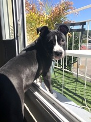 Yooka, chien Staffordshire Bull Terrier