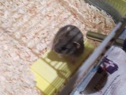 Je Ne Sais Pas Encore, rongeur Hamster