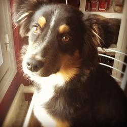 Yoshi, chien Border Collie
