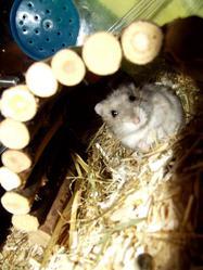 Yoshi, rongeur Hamster