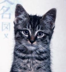 Yoshi, chat Européen