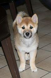Yoshi, chien Shiba Inu