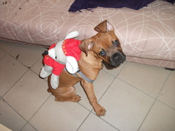Yoshi, chien Boxer