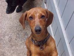 Yoshi, chien Teckel