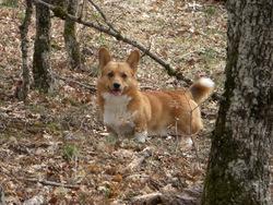 Yoshi, chien Welsh Corgi