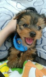 Yoshi, chiot Yorkshire Terrier