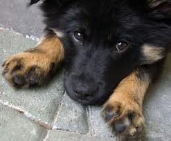Skat, chien Berger allemand