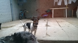 Yoshie, chien Jack Russell Terrier