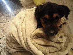 Yoshiko, chien Berger allemand