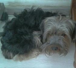 Youfi, chien Yorkshire Terrier