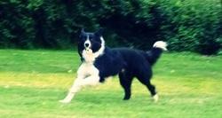 Woofi, chien Border Collie