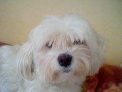 Youfi, chien Bichon maltais