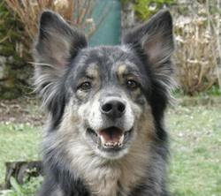 Youka, chien Border Collie