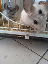 Youka, rongeur Chinchilla