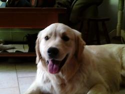 Youka, chien Golden Retriever