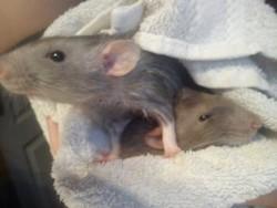 Youkai, rongeur Rat