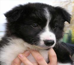 Youki, chien Border Collie