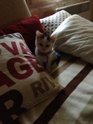 Yuki, chat Bleu russe
