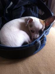 Youki, chien Chihuahua