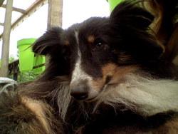 Youki, chien Berger des Shetland