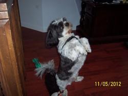 Youky, chien Shih Tzu