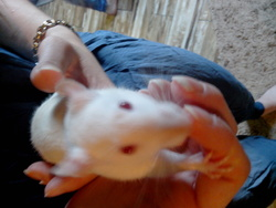 Youky, rongeur Rat