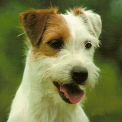 Youmi, chien Jack Russell Terrier