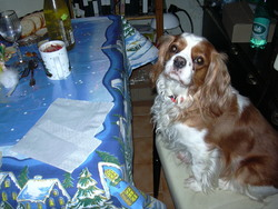 Youna, chien Cavalier King Charles Spaniel