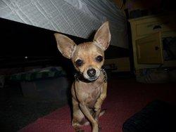 Youpi, chien Chihuahua