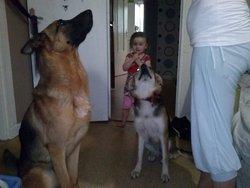 Youpi, chien Beauceron