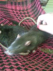 Youpi, rongeur Rat