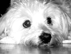 Youpy, chien Bichon maltais