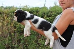 Youri, chien Cavalier King Charles Spaniel