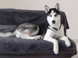 Yourka, chien Husky sibérien