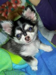 Youski, chien Chihuahua