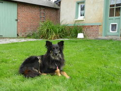 Youtsi, chien Hovawart