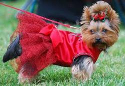 Youyou, chien Yorkshire Terrier