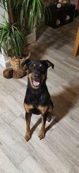 Yoyo, chien Rottweiler