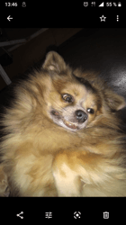 Ypso, chien Chihuahua