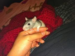 Ysera, rongeur Rat