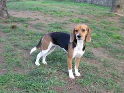 Ysun, chien Beagle