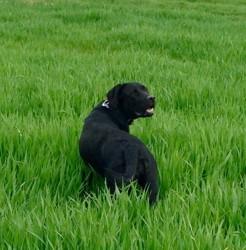 Yuka, chien Labrador Retriever