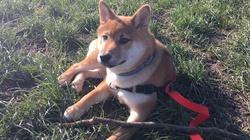Yuki, chien Shiba Inu