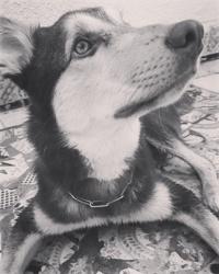 Yuki, chien Husky sibérien