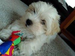 Yuki, chien Lhassa Apso
