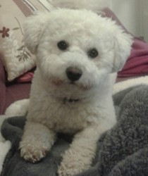 Yuki, chien Bichon à poil frisé