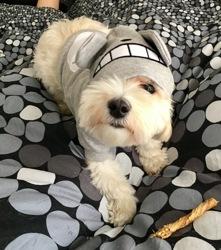 Yuki, chien Bichon havanais