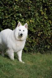 Yuki, chien Berger blanc suisse