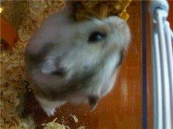 Yuki, rongeur Hamster
